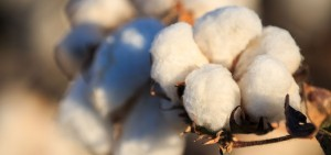GMO cotton boll