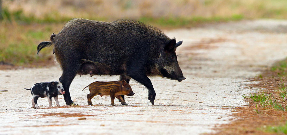 A feral pig and its piglets cross a rural road.