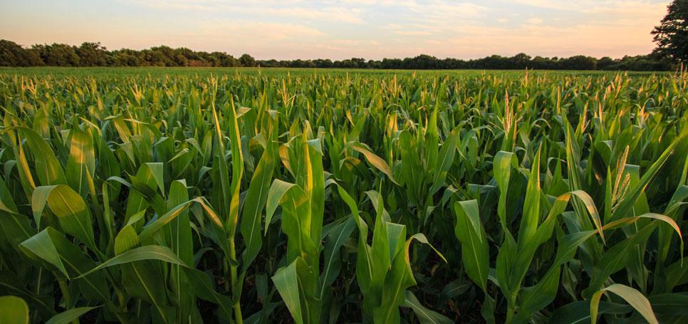 Genetically-modified corn grows in an Oklahoma field.