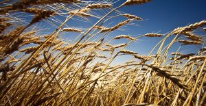 Wheat stands ready to be harvested in an Oklahoma field.